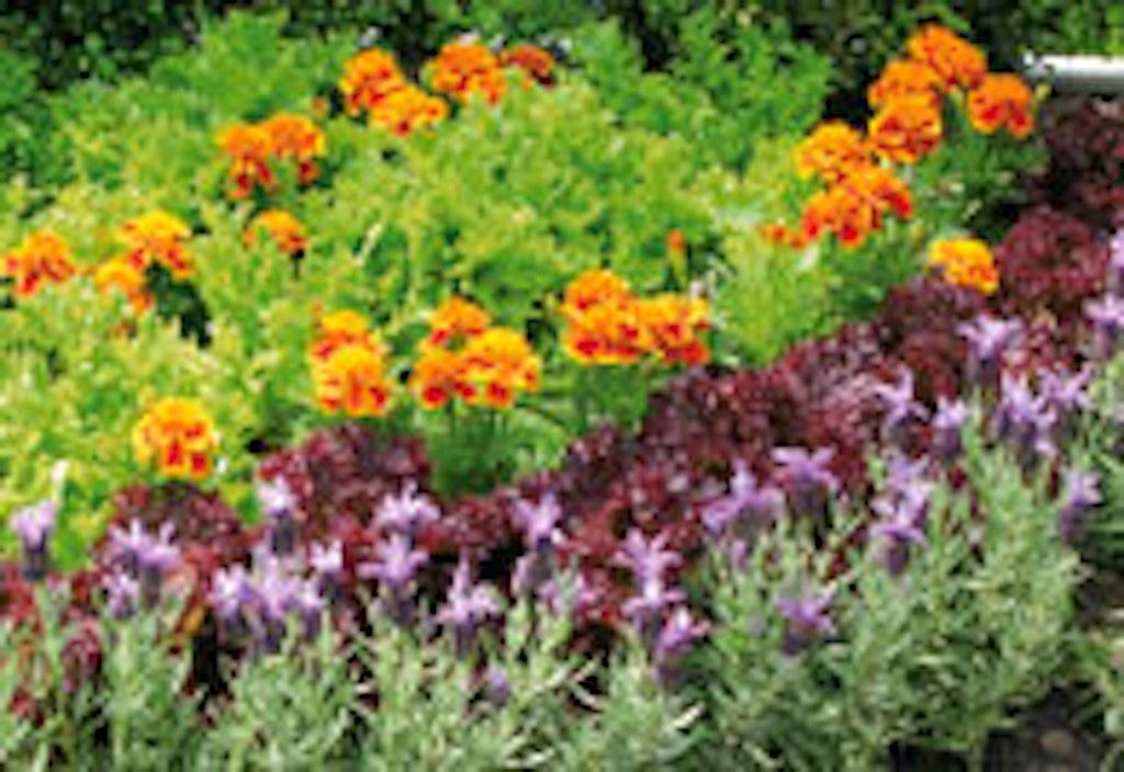 Tagetes er en plante med en stærk duft