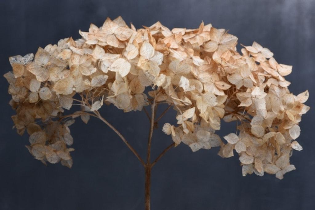 Tørret hortensia er smuk som evighedsblomster i buket
