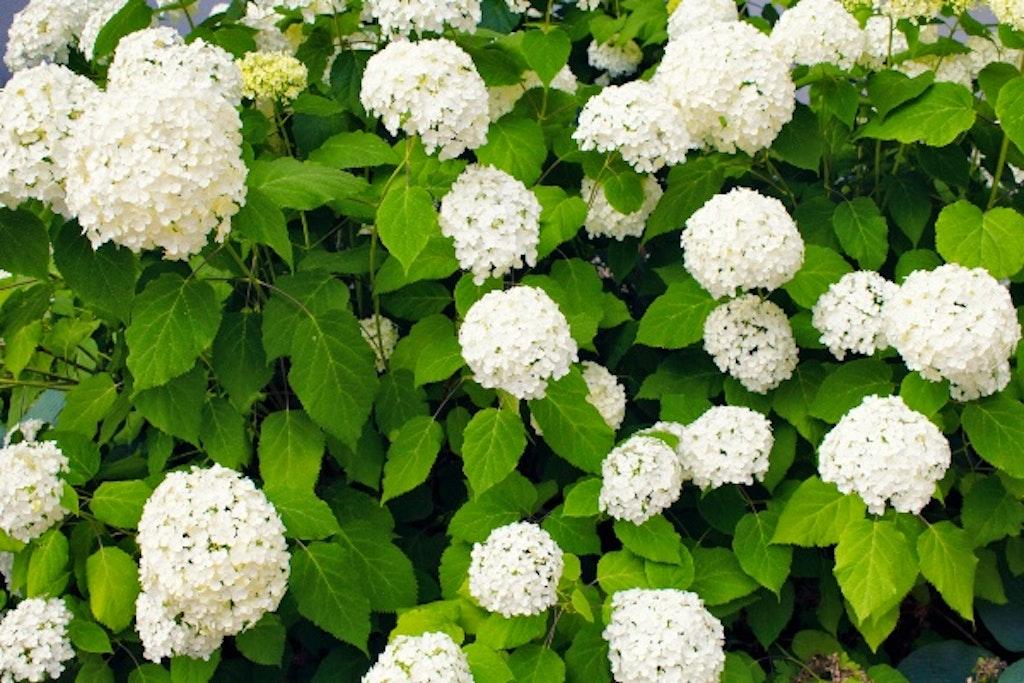 Træagtig hortensia