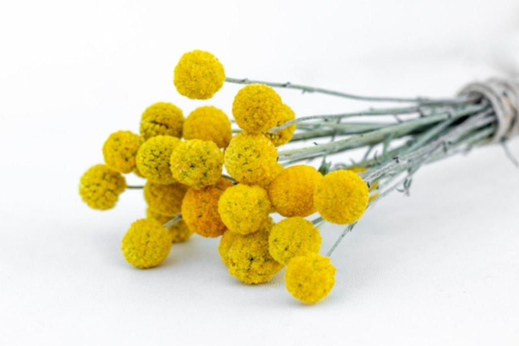 De karakteristiske gule trommestikker egner sig godt som evighedsblomster i buket.