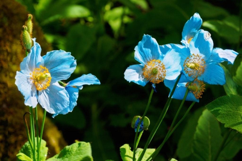 Valmuesøster - den blå valmue. Den kaldes også for Tibets blå valmue.